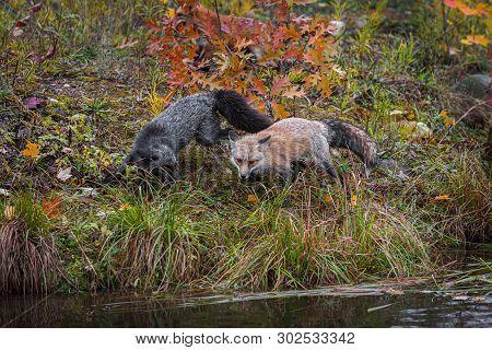 Amber Phase And Silver Fox (vulpes Vulpes) At Edge Of Island Autumn - Captive Animals