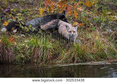 Amber Phase Fox (vulpes Vulpes) Looks Out With Silver Behind Autumn - Captive Animal