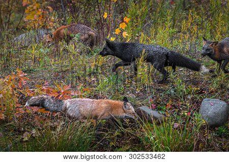 Skulk Of Fox (vulpes Vulpes) Roam About Autumn - Captive Animals