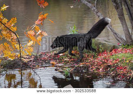 Silver Fox (vulpes Vulpes) Trots Left On Island Autumn - Captive Animal