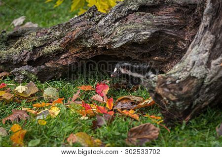 Eastern Spotted Skunk (spilogale Putorius) Peeks Out From Under Log Autumn - Captive Animal