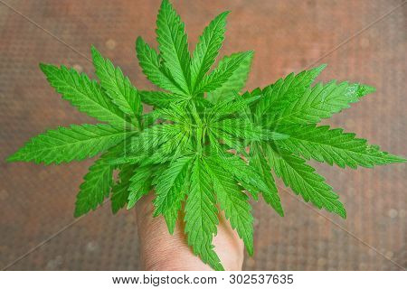 Hand Is Holding A Green Marijuana Bush With Leaves On A Brown Background.