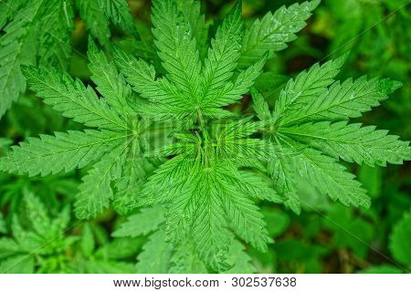 Green Marijuana Bush With Leaves Growing In Nature