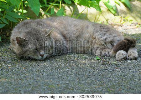 Big Gray Cat Lies And Sleeps On The Pavement