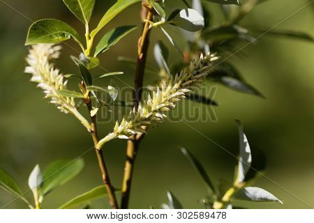 Flowers of the willow tree Salix bicolor., with a green background poster