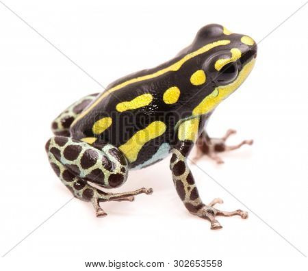 Poison dart or arrow frog, Ranitomeya flavovittata. A yellow striped poisonous animal from the tropical Amazon rain forest in Peru. Isolated on white background.
