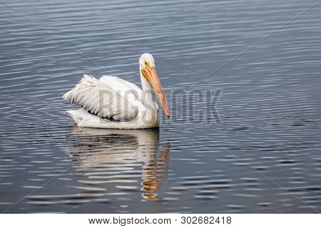 An American white pelican, Pelecanus erythrorhynchos, swims on a pond in Ding Darling National Wildlife Refuge on Sanibel Island, Florida. poster