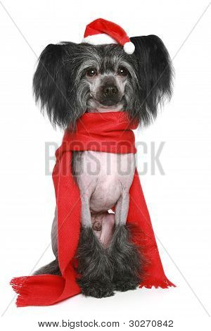Black Chinese Crested Dog in red scarf and christmas hat on a white background poster