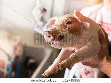 Veterinarian Giving Injection To Piglet