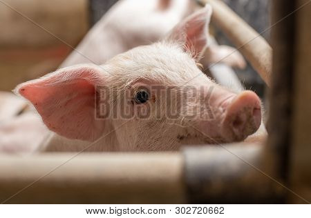 Close Up Of Piglet In Pigpen