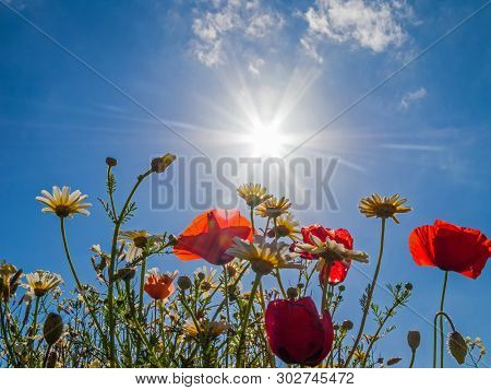 Bright red poppies backlit in poppy field. Looking up or upwards from ground level