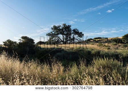 Hilltop oak tree at Santa Susana Pass State Historic Park in the San Fernando Valley area of Los Angeles, California.