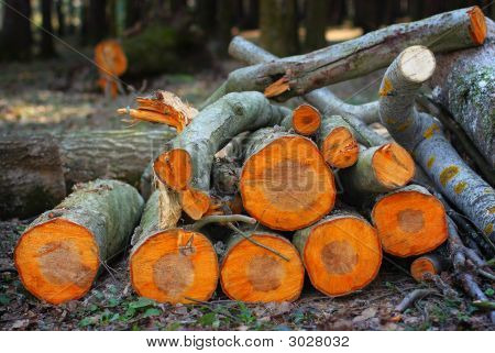 Pile Of Aspen Logs In The Spring Wood In The Sunset