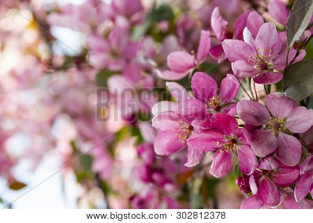 Branches Of Apples With Crab Apple Blossom Pink Flowers And Buds Of Spring Blooming Apple Trees With