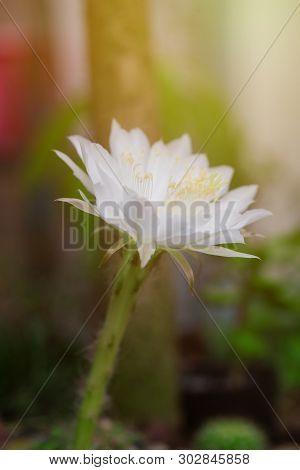 Beautiful  White Color Of Echinopsis Calochiroa Cactus Flower In Cactus Garden.