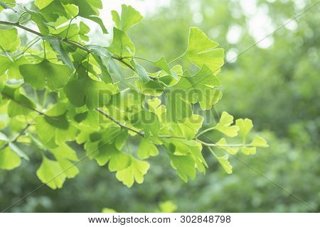 Ginkgo Biloba Tree With Leaves, Plant Used In Chinese Medicine. Ginkgo Tree Green Leaves, Medicinal