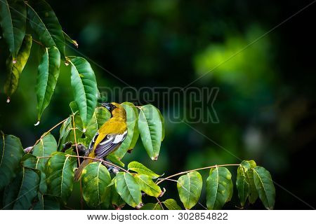 Hooded Oriole (icterus Cucullatus) Aka Palm Leaf Oriole Bird With Yellow Plumage/feathers, Black On