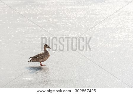 Female Duck On An Ice Covered Lake