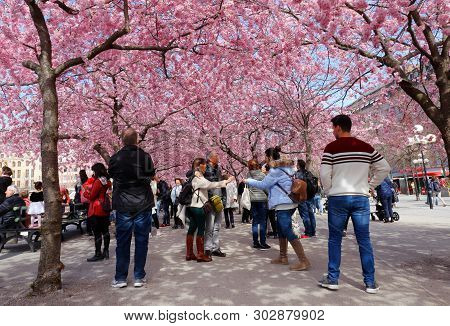 Stockholm, Sweden - April 22, 2019: People Under The Japanesse Cherry Tree Blossom In The Public Kun