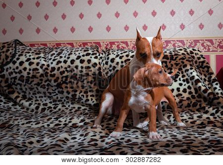 Nice Amstaff Puppy Dog And Mother Pets Rusty Red Animal Home Strenght American Staffordshire Terrier