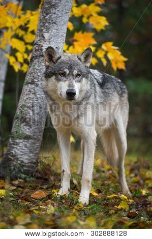 Grey Wolf (canis Lupus) Stands In Front Of Birch Trees Autumn - Captive Animal
