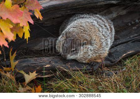 Woodchuck (marmota Monax) Huddled In Log Autumn - Captive Animal