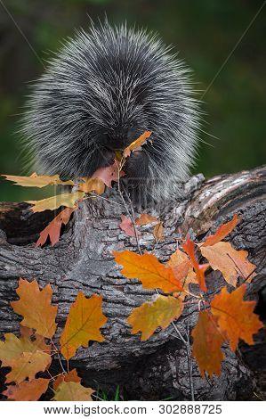Porcupine (erethizon Dorsatum) Sits On Log Munching Leaves Autumn - Captive Animal