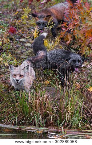 Skulk Of Red Fox (vulpes Vulpes) Gather At Shore Autumn - Captive Animals