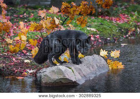 Silver Fox (vulpes Vulpes) Head Down Atop Rock Autumn - Captive Animal