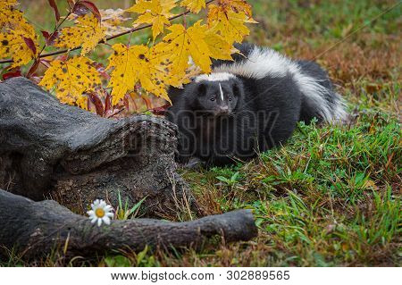 Striped Skunk (mephitis Mephitis) Steps Forward From Behind Log Autumn - Captive Animal