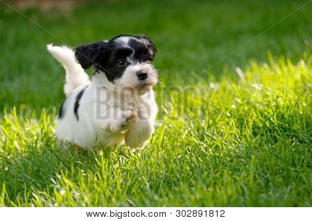 Cute Little Havanese Puppy Dog Is Running In A Spring Green Garden