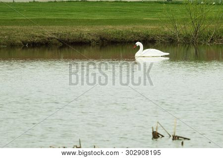 A Swan Swimming Along The Shore Line Of A Pond In Spring Time  In Fargo Nd.