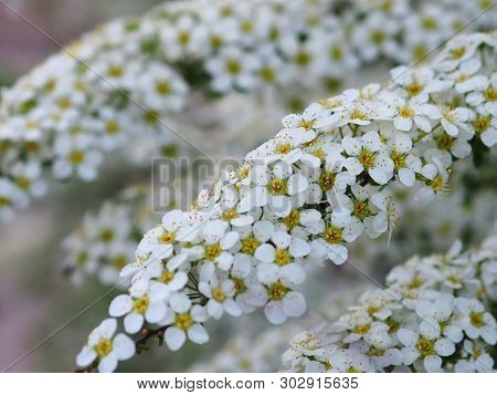 White Spiraea Flowers Close Up. Floral Background