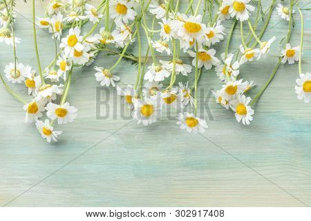 Blooming Chamomile Flowers, Shot From The Top On A Teal Blue Wooden Background With Copy Space