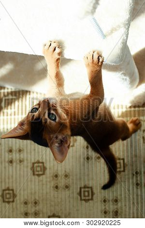 The Abyssinian Cat Playing In The Sun