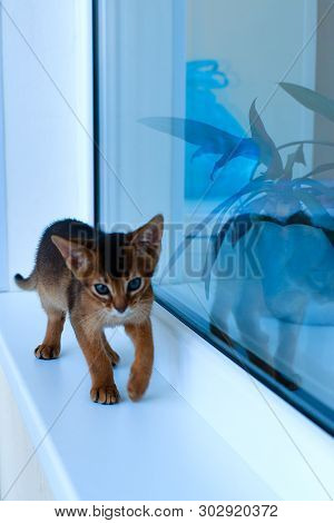 Abyssinian Cats Play At The Window In The House