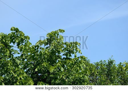 Crowns Of Trees Against A Blue Sky On A Clear Day