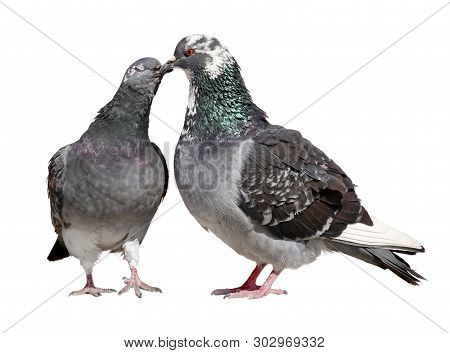 Two Pigeons Appearing To Kiss Each Other With Their Beaks. Close Up View Isolated On A White Backgro