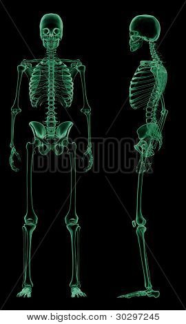 X-ray skeletal structure of the Human Body
