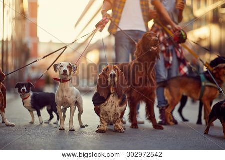 group of dogs with man and leash ready to go for a walk outdoors