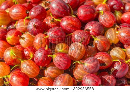 Fresh Gooseberries. Gooseberry Harvest, A Crop Of Ripe Gooseberries