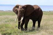 Elephant bull at lake Manyara national park Tanzania poster