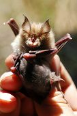 Bat with child studied by a chiropterologist poster