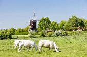 windmill and cows, Boeschepe, Nord-Pas-de-Calais, France poster