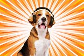 Beagle dog wearing headphones over abstract background. poster