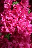 Close-up of many blooming pink bougainvilleaflowers with a few green leaves in sunlight poster