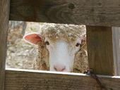 a young ewe lamb peeking through a fence poster