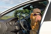 Dog driver with sunglasses and hat poster