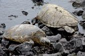 two green sea turtles on a black sand beach in Hawaii poster