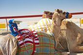 Robot controlled camel racing in the desert of Qatar Middle East on a sunny day. Racing camels warming up in the morning sun on the Racetrack. Focus on remote control rider poster